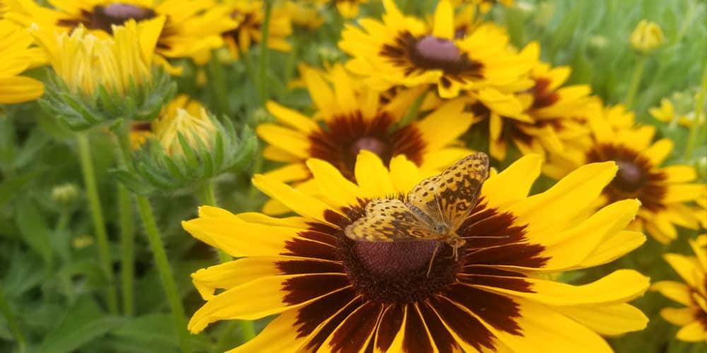 sunflower flower csa